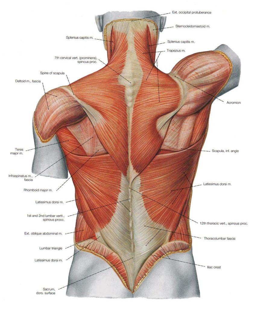 back muscle chart